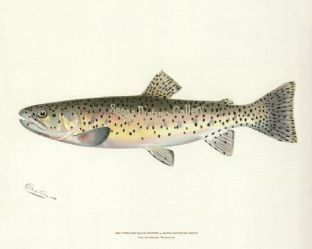 Trout, Red Throated Black Spotted or Rocky Mountain